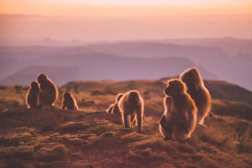 gallery/gelada-baboons-sunset-camp-geech-simien-mountains-roof-of-africa-ethiopia